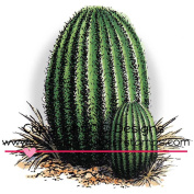 DoveArt Cling Stamp 7.6cm x 7.6cm -Barrel Cactus Cluster