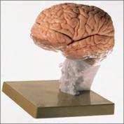 Brain Demonstration Model -BS25