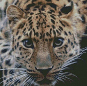 Leopard in the Night Counted Cross Stitch Kit,14ct 217x217stitch 50x50cm Count Cross Stitch Kit