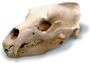 0210-1 Grizzly Bear Skull With Stand