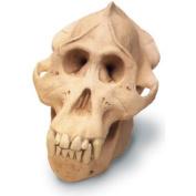 Skullduggery 0209-1 Orangutan Skull With Stand