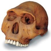 Skullduggery 0247-1 Homo Habilis Cranium With Stand