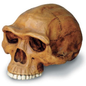 Skullduggery 0248-1 Homo Erectus Cranium With Stand