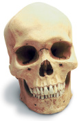 Skullduggery 0200-1 Human Male Skull With Stand
