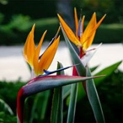 Bird of Paradise Candle Fragrance Oil 30ml