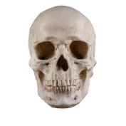 Wensltd Halloween Necessity Human Skull Cranium Ornament Model Home Bar Decoration