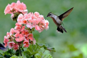 Hummingbird Nectar Candle Fragrance Oil 30ml