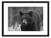 Black bear - Art Print Wall Solid Wood Framed Picture