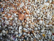 0.5kg Tiny Indian Shell Mix Seashells 0.6cm - 1.3cm Craft Mini Shells Candle Making Beach Crafts Nautical