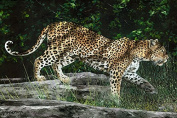 Digital Printed Panel Of Leopard In Jungle Northcott Cotton Fabric DP21377-10