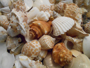 0.9kg (Half Gallon) Indian Ocean Shell Mix Medium Size Seashells 1.3cm - 3.8cm Seashells Crafts Beach Decor