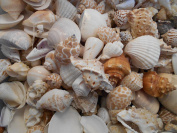 0.5kg Indian Ocean Shell Mix Medium Size Seashells 1.3cm - 3.8cm Seashells Crafts Beach Decor