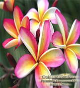 BULK Fragrance Oil - PLUMERIA Fragrance Oil - A clean floral with a hint of summer breeze - By Oakland Gardens