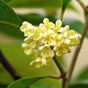 Ambrosial - Fragrances of Heaven Osmanthus Essential Oil (Osmanthus Fragrans) 100% Pure & Natural - 10Ml