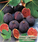 FIG TREE Fragrance Oil - 100% UNCUT - Delectable fig with its earthy & sweet scent - By Oakland Gardens