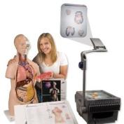 3b Scientific 3b Torso Classroom Set. Huge Saving