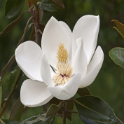MAGNOLIA FRAGRANCE OIL - 60ml - FOR CANDLE & SOAP MAKING BY VIRGINIA CANDLE SUPPLY - FREE S & H IN USA